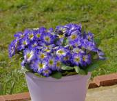 Flowers in pot, Primulars — Stock Photo
