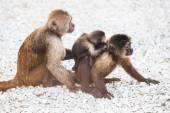 Family of little monkeys — Stock Photo