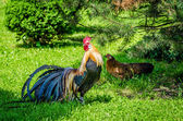 Rooster and Hen in the wild — Stock Photo