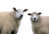 Two Sheep on a  white background — Stock Photo