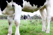 農地の黒と白の牛. — ストック写真