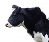 Cow isolated on a white background — Stock Photo