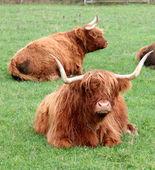 Highland Cattles in evening sun. — Stock Photo
