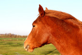 Red horse.. — Stock Photo