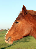 Red horse. — Stock Photo