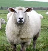 Sheep in a summer landscape. — Stock Photo