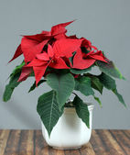 Beautiful poinsettia in flowerpot. — Stock Photo