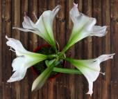 Beautiful flowers amaryllis bloom. — 图库照片
