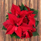 Poinsettia rojo — Foto de Stock
