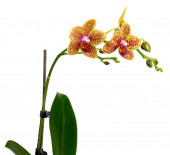 Yellow Orchid Flower isolated on white background. — Stock Photo