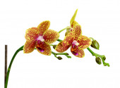 Yellow Orchid Flower isolated on white background — Stock Photo
