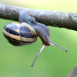 Common garden snail crawling on green stem of plant — Stock Photo #71512705
