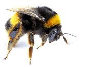 Bumblebee isolated   — Stock Photo