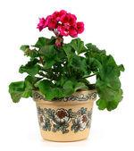 Flor gerânio — Fotografia Stock