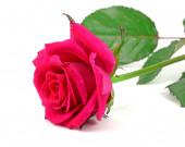 Czerwona róża na białym tle! — Zdjęcie stockowe