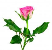 розовая роза на белом фоне. — Стоковое фото