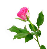 Rose pink on a white background — Stock Photo