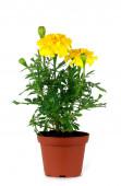 Marigold flower on a white background — Stock Photo