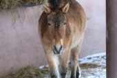 Przewalski's horse in the street — Stock Photo