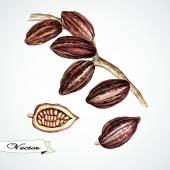 Watercolor cocoa beans.Hand painting. — ストックベクタ