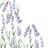 Watercolor  background of Lavender — Stock Vector