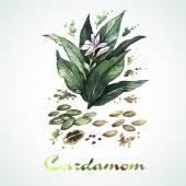 Watercolor cardamom card — Stock Vector