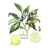 Watercolor Bergamot card — Stock Vector