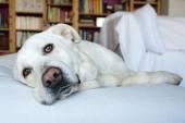 Spanish Mastiff lying on sofa with library on background — Stock Photo