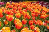 Orange röda tulpaner — Stockfoto
