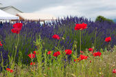 Lavender Field with Poppy flowers — Stock Photo