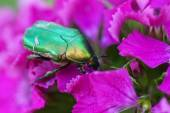 Green beetle on a pink flower.  — Stock Photo