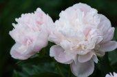 Pivoine rose dans le jardin. — Photo