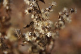 Dried plant in the fall.  — Stock Photo
