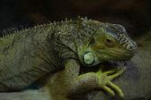 Iguana lying on the stone. — Photo
