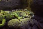 Iguana leżącego na kamieniu. — Zdjęcie stockowe