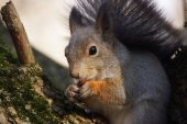 Portrait of a squirrel nibbling a nut. — Foto de Stock
