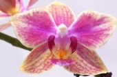 Flower orchid. Purple and yellow.  — Foto de Stock