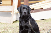 Portrait of a black dog.  — Stock Photo