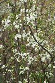 Flowering plum in the garden.  — Foto de Stock