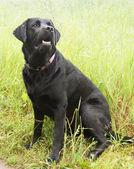 Black dog on a leash. — Stock Photo