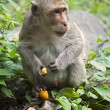 Rhesus Macaque the best-known species of Old World monkeys — Stock Photo #64950725