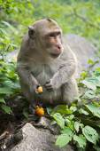Rhesus Macaque the best-known species of Old World monkeys — Stockfoto