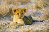 Fine art print of aa African Lion cub — Stock Photo