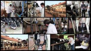 Produção de fazenda de gado leiteiro — Vídeo stock