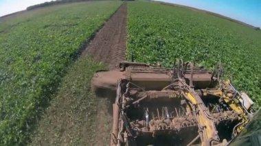 Sugar beets harvester — Stock Video