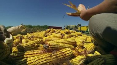 Hands Holding Corn — Stock Video