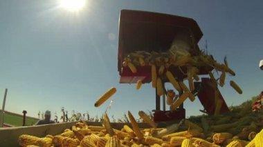 Corn cobs falling into wagon — Stock Video