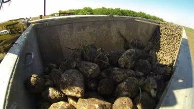 Loading sugar beets — Stock Video