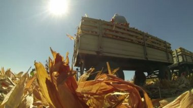 Tractor trailer with corn cobs — Stock Video