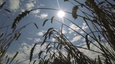 Silhouette of Wheat Against Sun — Stock Video